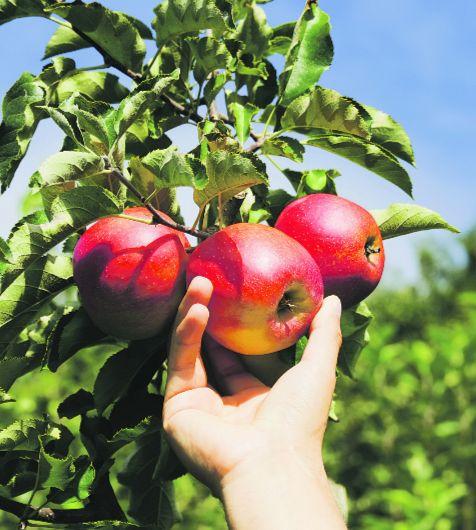 Hand pflückt Apfel von Baum